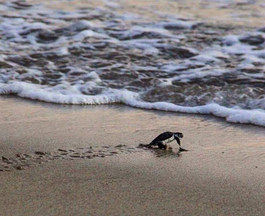 Help release little turtles on the Bacocho beach. The taxi will take you directly to your destination and the local association for the protection of turtles will give you more explanations (only Spanish or English). A magical and unforgettable moment!