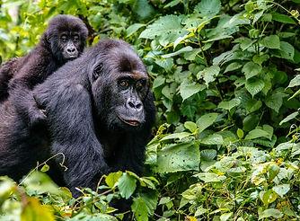 gorilla-trekking-forest-timbuktu-travel.