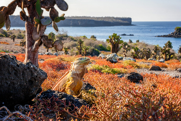 Galapagos Drusenkopf