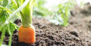 carottes nouvelles 1 kg ( Pays de la Loire )