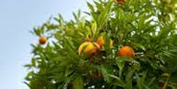 Orange Valencia 1kg ( Afrique du Sud )