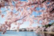 cherry-blossoms-washington-dc.webp