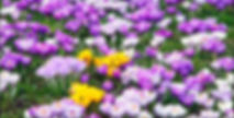 spring-flowers-crocus.jpg