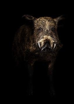 Wild-pig-176787945_5908x8294-2.jpg