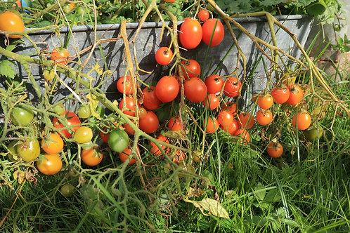 Pendulina Orange / Пендулина оранжевая томат