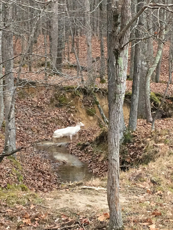 Ghost Fallow Deer at Goodman Ranch