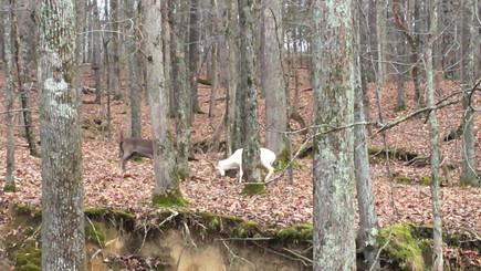 Fallow Deer Fight