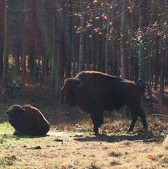 Buffalo on Goodman Ranch