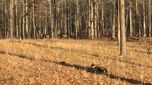 Axis Deer Fight