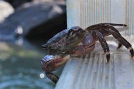 Aquafarm Crab