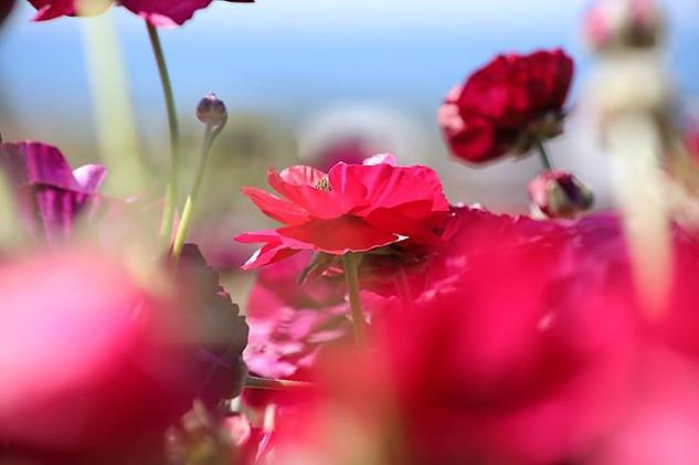 Carlsbad Flower Fields II