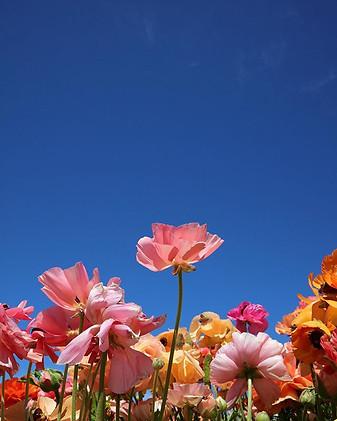 Carlsbad Flower Fields III