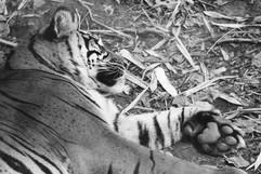 Sleeping Tigeress