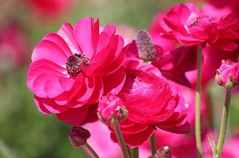 Carlsbad Flower Fields I