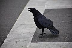 Raven on Samhain
