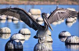 A Pelican at Aquafarm