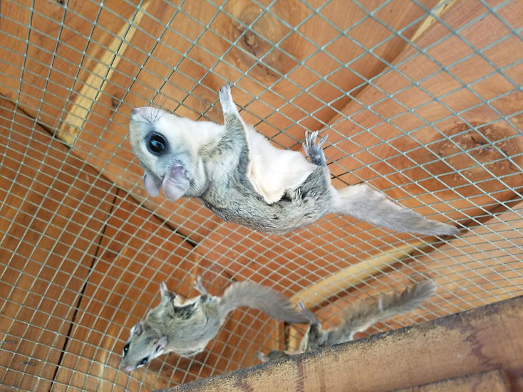 Flying Squirrel Adult Female PRICE $600