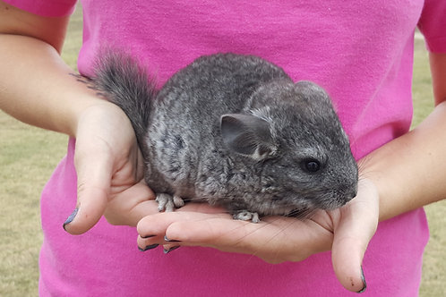Smee - Chinchilla Male - $175