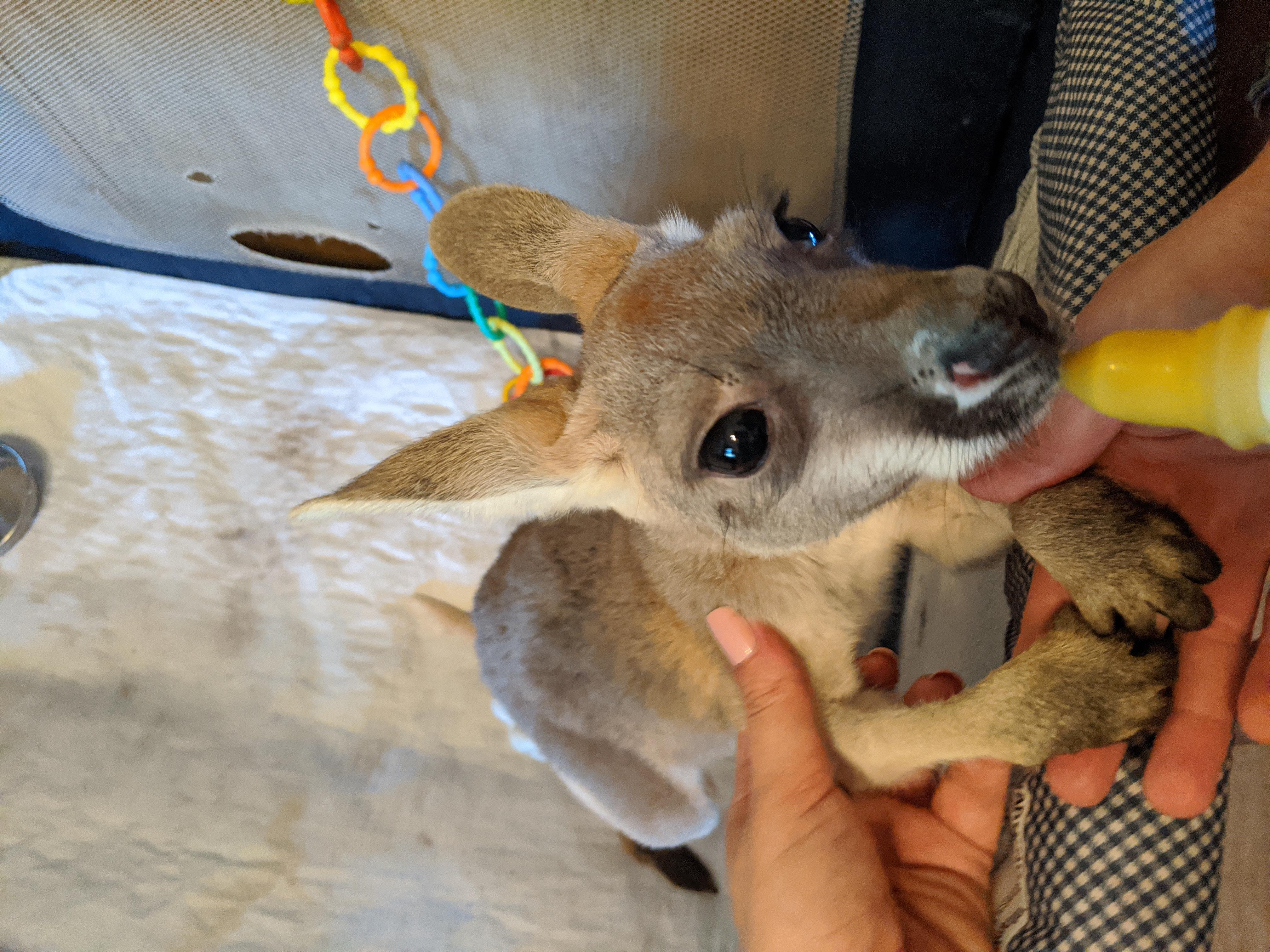 Bottle Baby Kangaroo