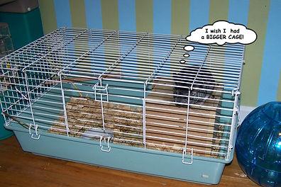 Chinchilla, Chinchilla Baby, Chinchilla for sale, Chinchilla Breeder, Car for Chinchilla, Exotic Animal, Cute Animal, chinchilla picture, exotic pets, Chinchilla habitat