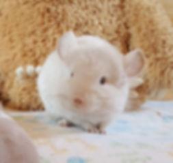 Chinchilla, Chinchilla Baby, Chinchilla for sale, Chinchilla Breeder, Car for Chinchilla, Exotic Animal, Cute Animal, chinchilla picture, exotic pets