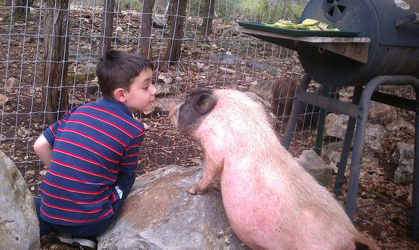 mini pig, piglet, mini pig breeder, mini pig care, mini pig basics, dwarf pig