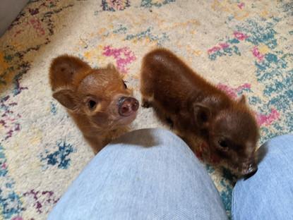 Mini Pig In Depth Pet Care