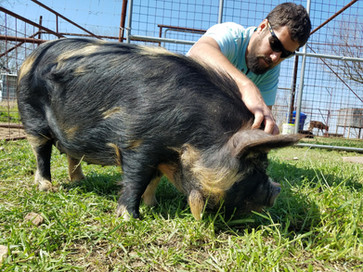 KuneKune Pig In Depth Pet Care