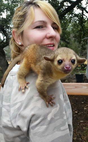 Kinkajou, Baby Kinkajou, Kinkajou care, Exotic Animals, Janda Exotics, Care for Kinkajou, Kinkajou for sale, cute animal, kinkajou breeder
