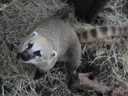 Coati In depth Pet Care