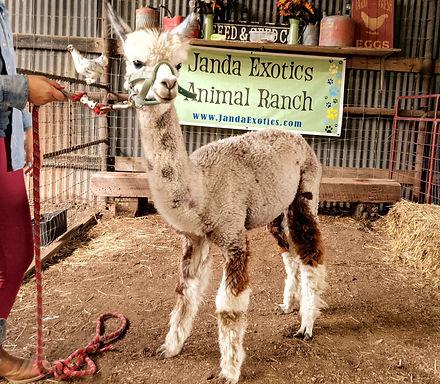 JandaJEAR alpaca.jpg
