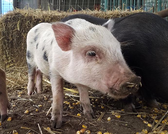 Shepard - Male Mini Pig $50