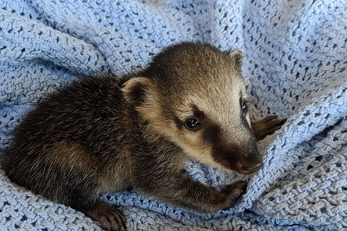 Pepsi- Male Mountain Coati Baby $1000