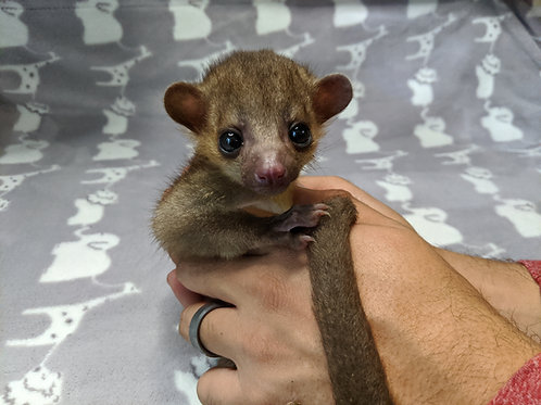 Buddy - Male Kinkajou PRICE $3400