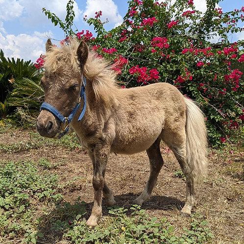 Emerald - Pet Mini Horse Male PRICE $1200