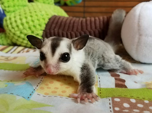 Mouse - White Face Male PRICE $300