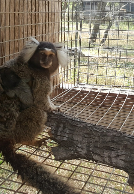 Marmoset mom.jpg