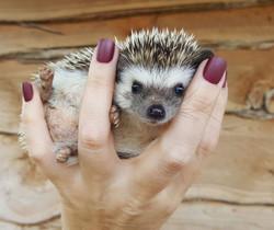Cute Hoglet