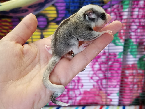 Bailey - Ringtail Female PRICE $600