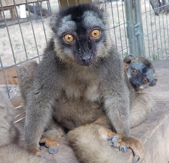 brown lemur.jpg