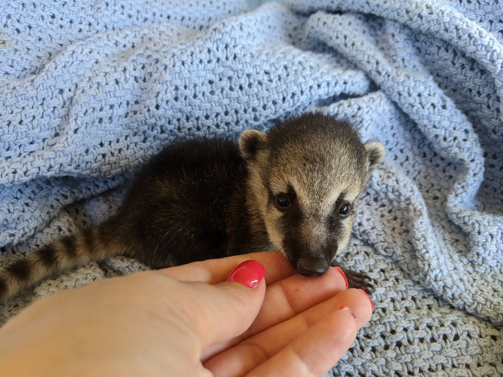 Betsy- Female Mountain Coati Baby $1500
