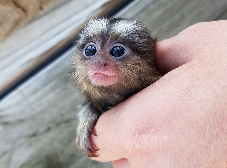 """Coraline"" Monkey Female $3900"