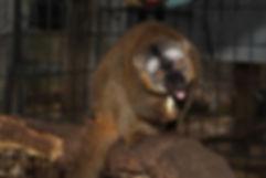Lemur, Owning a Lemur, Lemur Care, Lemur Habitat, Lemur Home, Lemur Pet, Lemur Breeder, cute animal, Exotic Pet