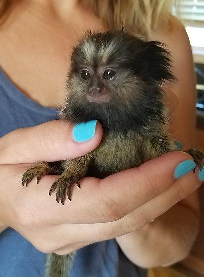 Marmoset Monkey Encounter *Private*