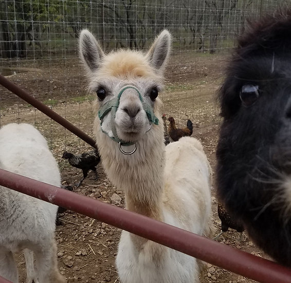 Ellen- Alpaca Female PRICE $1200