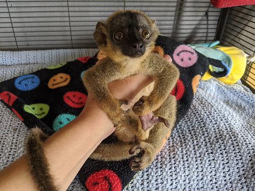 Nya - Brown Lemur Female DOB: 5/6/20  Price: $5500