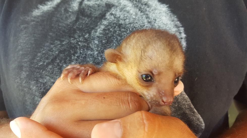 Kinkajou Baby Male DOB: 8/21/17