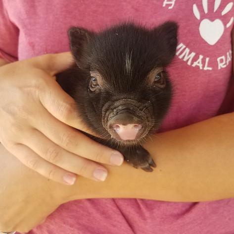 Piglet for Sale