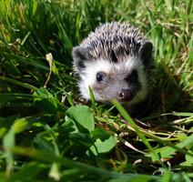 hedgehoggrass.jpg