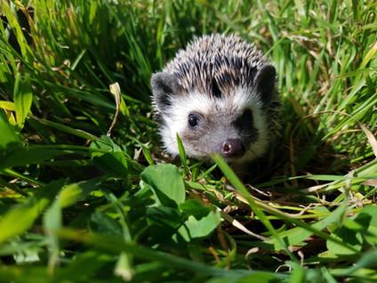 Hedgehog In-Depth Pet Care